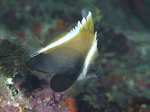 Horned bannerfish Royalty Free Stock Photo