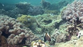 Horned bannerfish Heniochus varius in coral on Apo island. Philippines stock footage