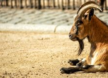 The horned and bearded goat quietly rests lying on the gravel stock photography