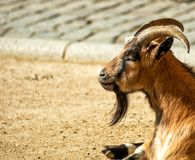 The horned and bearded goat quietly rests lying on the gravel royalty free stock photos