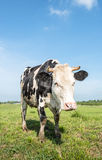 Horned black and white cow Royalty Free Stock Photo