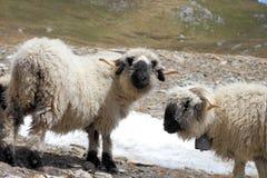 Horned blacknose sheep stock photo