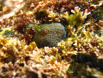 Horned blenny Royalty Free Stock Images