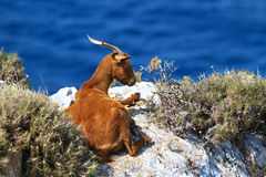 Horned brown goat Royalty Free Stock Images