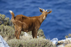 Horned brown goat Royalty Free Stock Image