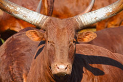 Horned bull Stock Image