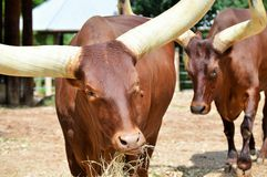 Horned Bull Royalty Free Stock Photo