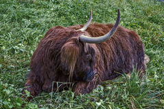 Horned bull. The bull lies in the grass Stock Photos