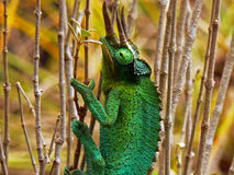 Three-Horned Chameleon Stock Image