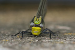 Horned Clubtail Royalty Free Stock Photos