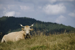 horned cow Royalty Free Stock Images