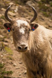 Horned cow with colors. Nepalese cow at the mountain Stock Photos