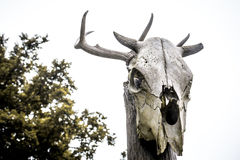 Horned cow`s skull Royalty Free Stock Images
