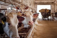 Cows are distracted from food and look into the lens stock photos