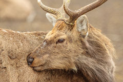 Horned deer cleans his pelt Royalty Free Stock Photography
