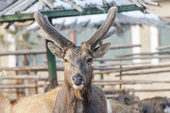 Horned deer Stock Photo