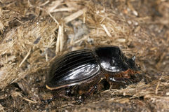 Horned dung beetle (Copris lunaris) Royalty Free Stock Photography