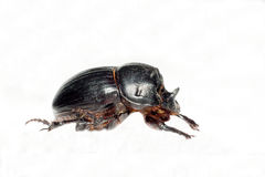 Horned dung beetle (Copris lunaris) Stock Images