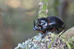 Horned dung beetle, Copris lunaris Royalty Free Stock Photos