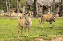 Horned eland in Thailand zoo Stock Photos