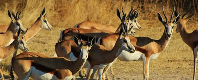 Horned family - Springbuck Royalty Free Stock Photos