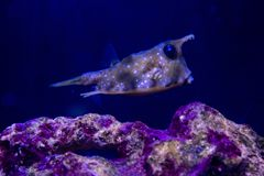Horned fish, cow - fish. Horned fish, cow-fish close - up stock photography