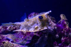 Horned fish, cow - fish. Horned fish, cow-fish close - up stock photo
