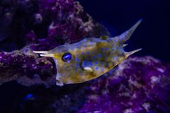 Horned fish, cow - fish. Horned fish, cow-fish close - up stock images
