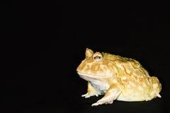 Horned frog 01. Side view of an Albino Ornate Horned Frog (Ceratophrys ornate) against black blackground stock images