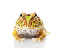 Horned Frog. (Ceratophrys) isolated on white background Royalty Free Stock Image