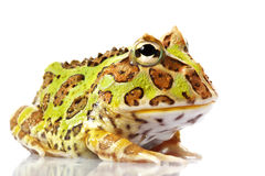 Horned Frog. (Ceratophrys) isolated on white background Stock Photography