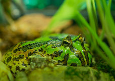 Horned Frog Royalty Free Stock Photos