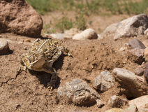 Horned Frog Stock Photo