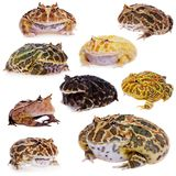 Horned frog set on white Royalty Free Stock Photography