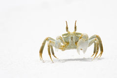 Horned Ghost Crab. On snow white sand, La Digue, Republic of Seychelles Stock Photo