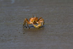 Horned ghost crab Stock Photo