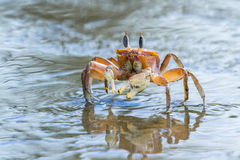 Horned ghost crab Royalty Free Stock Image