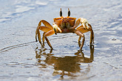 Horned ghost crab Royalty Free Stock Photo