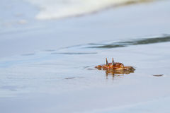 Horned ghost crab Stock Images