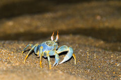The horned ghost crab Stock Images
