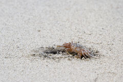 Horned ghost crab Stock Photography