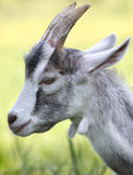 Horned goat. Side view of goat head against green background Stock Image