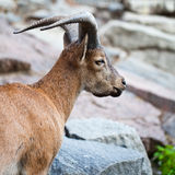 Horned goat Royalty Free Stock Photo