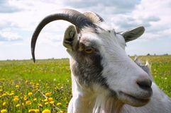 Horned goat. 's head Stock Photography