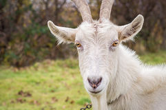 Horned goat closeup Royalty Free Stock Photography