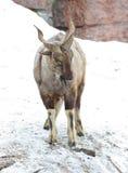 Horned goat Royalty Free Stock Photo
