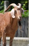 Horned Goat. A horned goat with a long beard standing in the barnyard stock photos