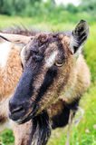 Horned goat. Royalty Free Stock Image