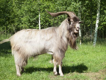 Horned goat outdoors Stock Photography