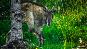 Horned goat. In the paddock Royalty Free Stock Photos